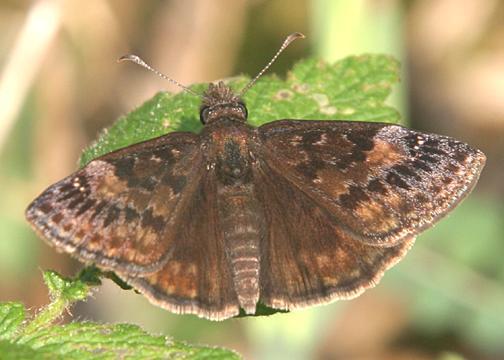 Wild Indigo Duskywing - Erynnis baptisiae  (male)