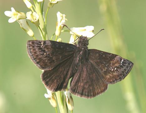 Wild Indigo Duskywing - Erynnis baptisiae (female)