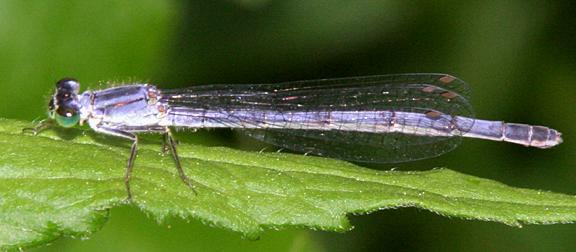 Eastern Forktail - Ischnura verticalis (female)