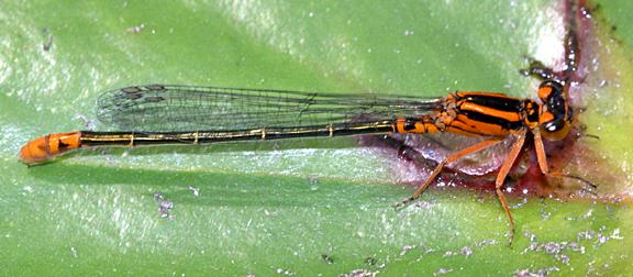 Lilypad Forktail - Ischnura kellicotti (female)