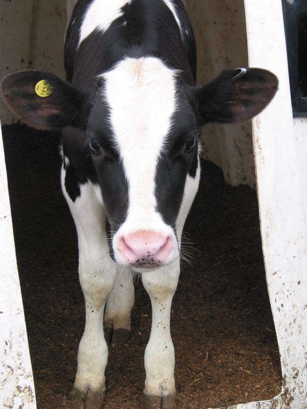 Heifer in Fairlee