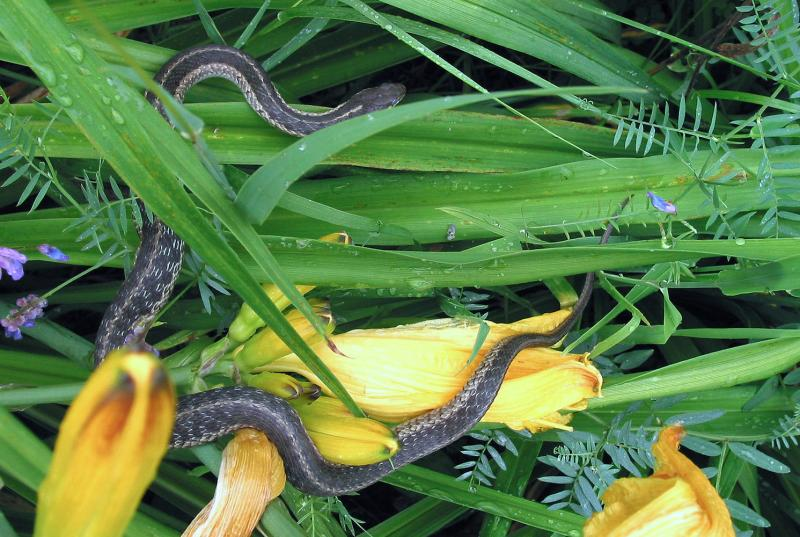 Garter snake in the daylillies