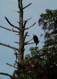 Eagle resting.jpg