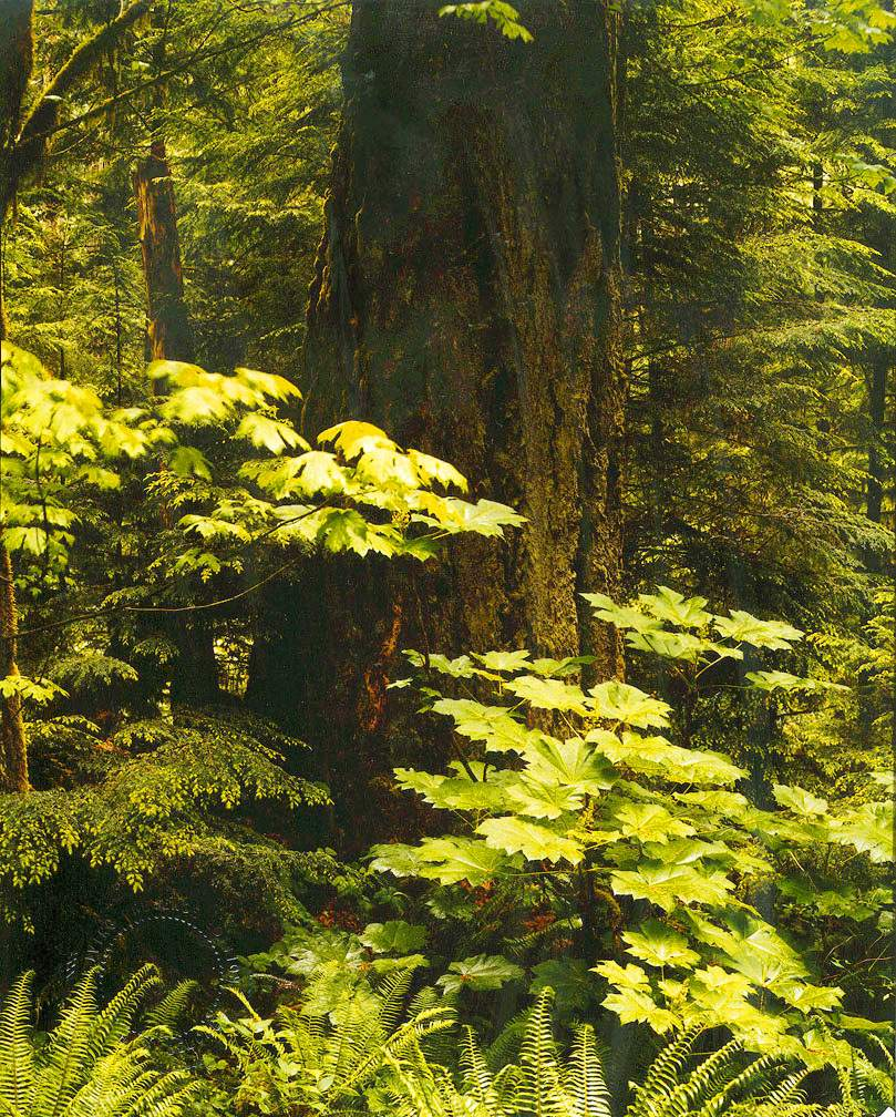Cathedral Grove fir, Vancouver Island
