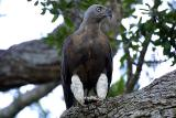 Grey-headed Fish Eagle.jpg