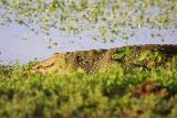 Marsh Croc.jpg