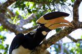 Malabar Pied Hornbill 2.jpg