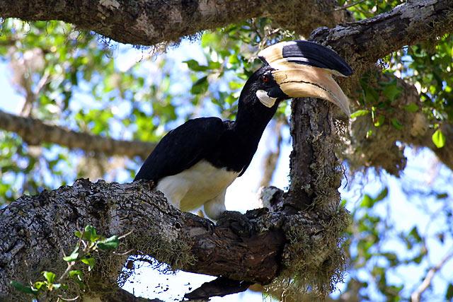 Malabar Pied Hornbill.jpg