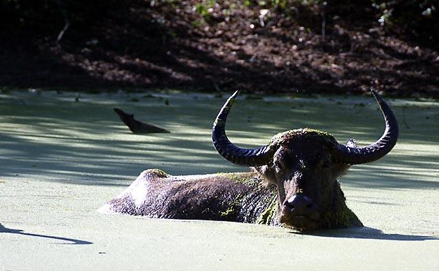 Wild Buffalo.jpg