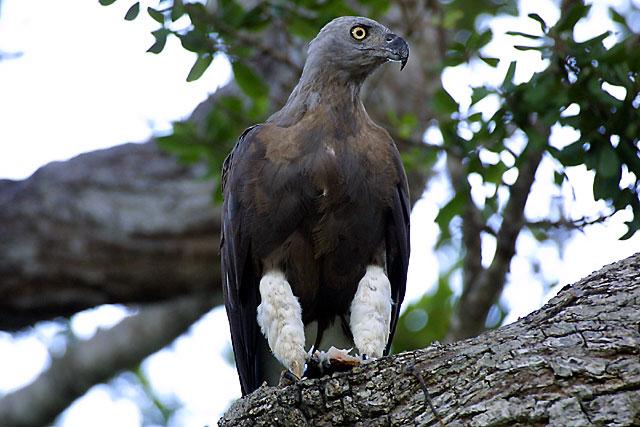 Grey-headed Fish Eagle.jpg