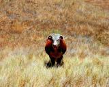 Staring Bull