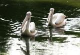 Pelicanus erythrorhynchos White pelican Witte pelikaan