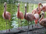 Phoenicopterus chilensis Chilean flamingo Chileense flamingo