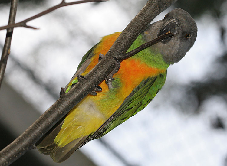 Poicephalus senegalus senegalus<br>Senegal papagaai/Bont boertje