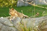 Lioness&Cubs-0006-after.jpg