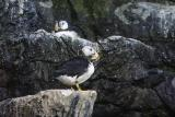 Puffins-0010-after.jpg