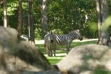 Zebras-0003-after.jpg