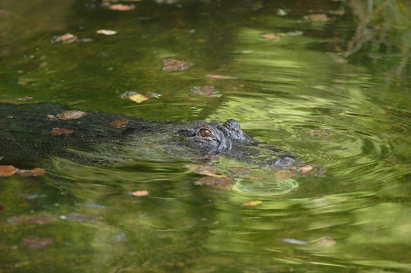 Aligator-0001.jpg