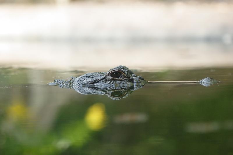 Aligator-0004.jpg