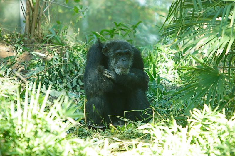Chimps-0002.jpg