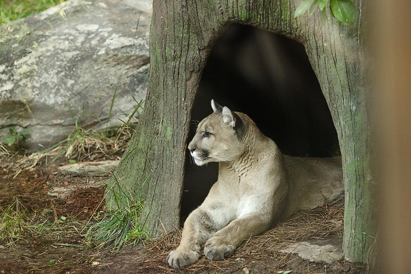 Cougar-0001.jpg