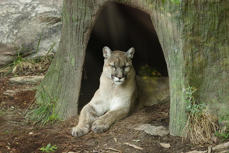 Cougar-0002.jpg