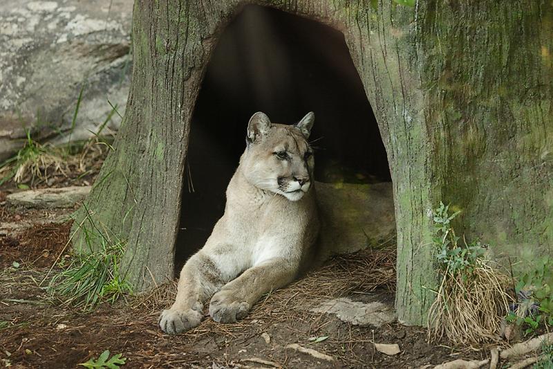 Cougar-0003.jpg