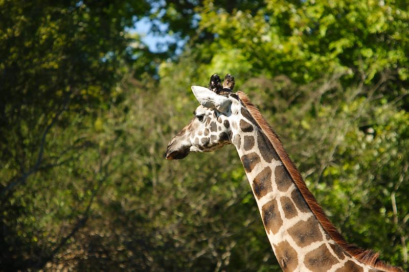 Giraffes-0001.jpg