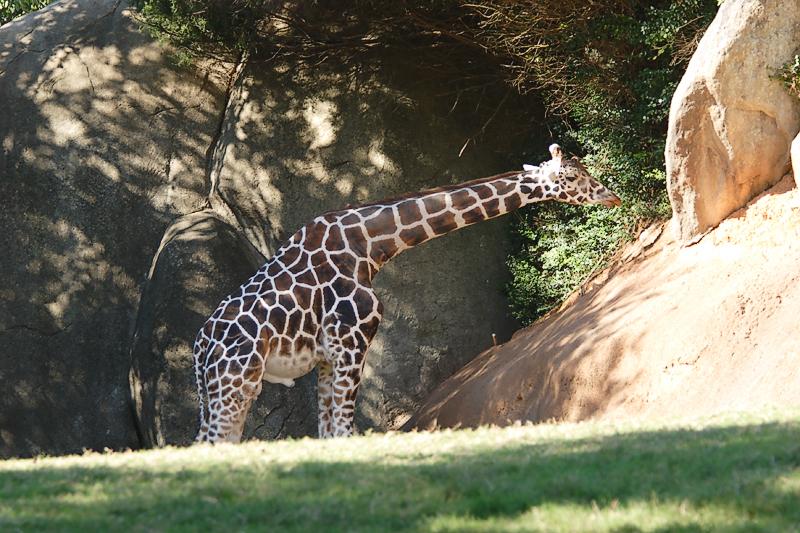 Giraffes-0004.jpg
