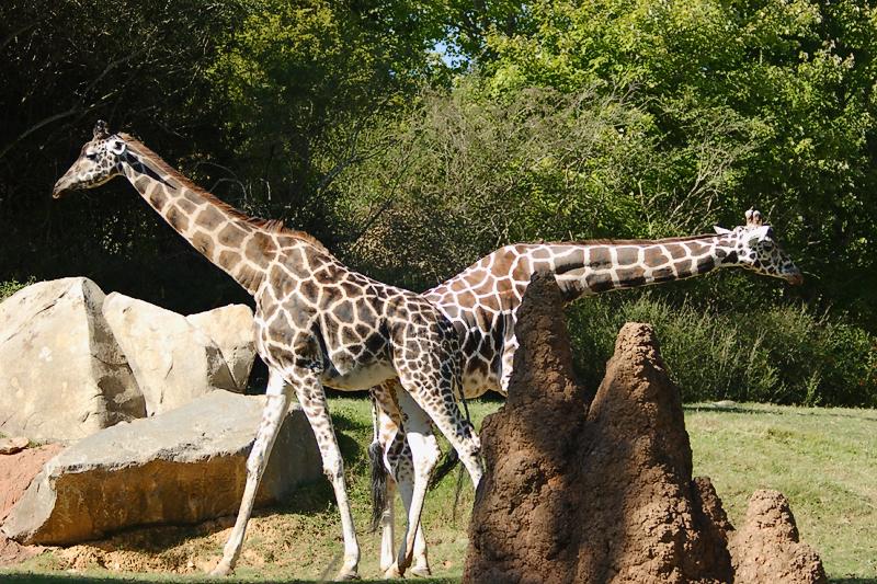 Giraffes-0005.jpg