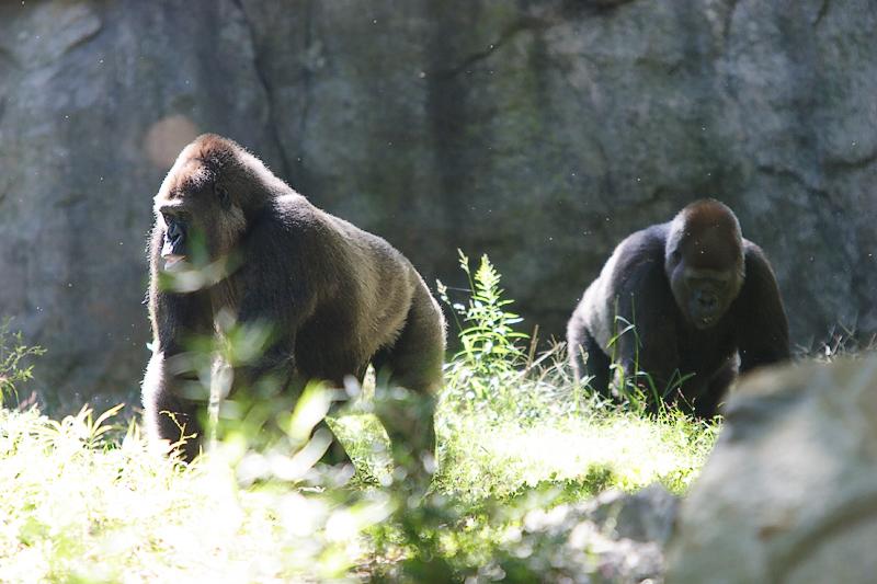 Gorillas-0005.jpg