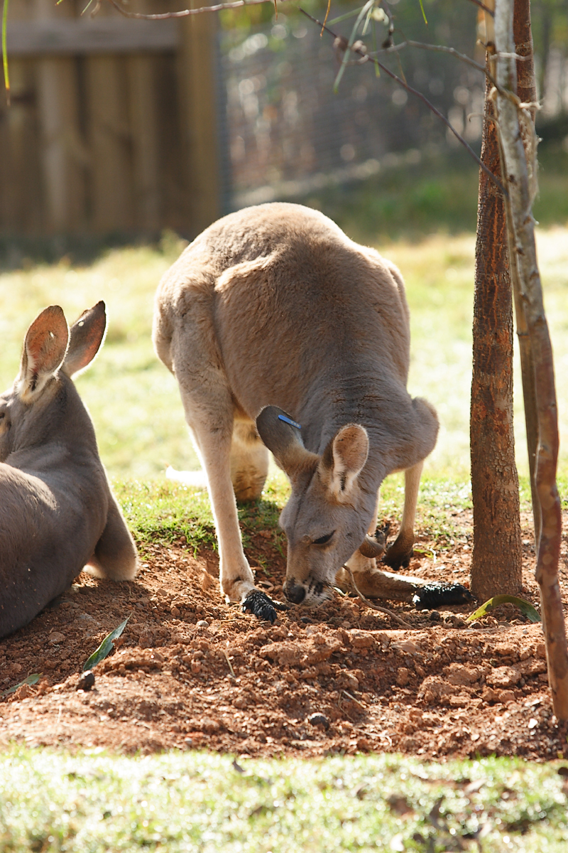 Kangaroos-0005jpg.jpg