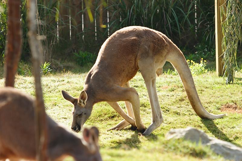 Kangaroos-0007.jpg