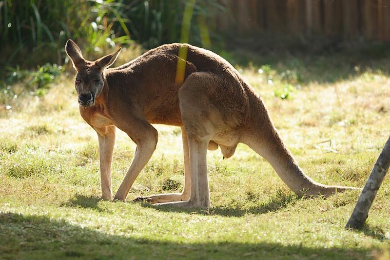 Kangaroos-0010.jpg