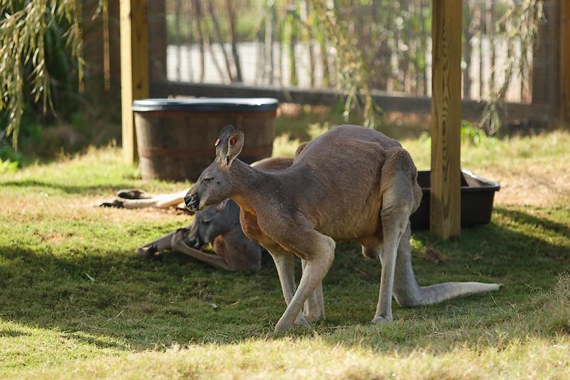 Kangaroos-0011.jpg