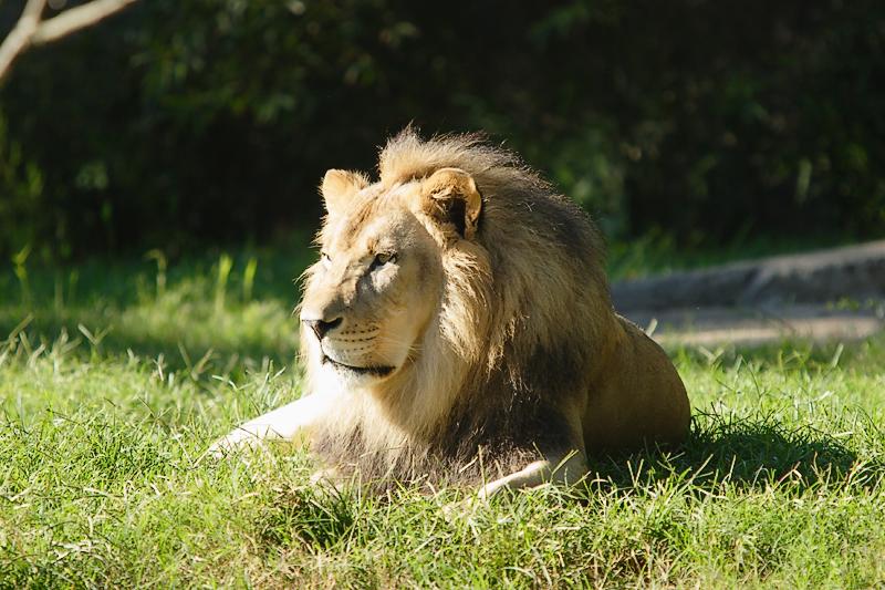 Lion-0005.jpg