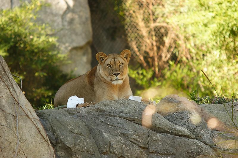Lioness&Cubs-0004-after.jpg