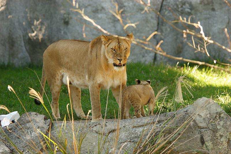 Lioness&Cubs-0007-after.jpg