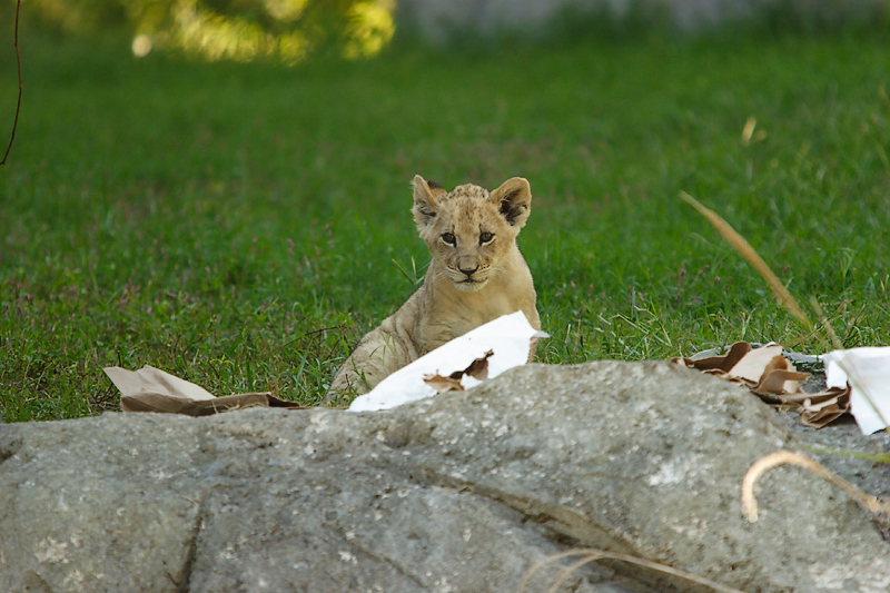 Lioness&Cubs-0008-after.jpg
