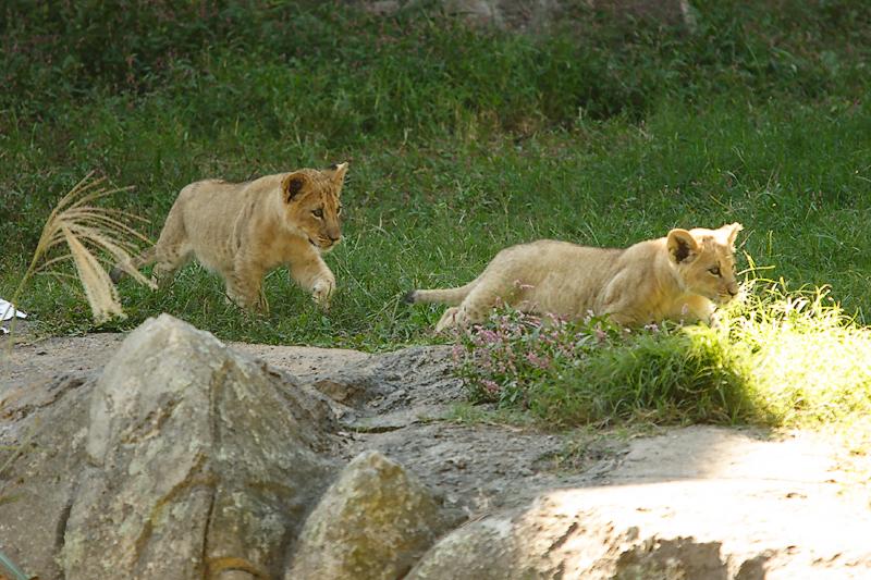 Lioness&Cubs-0009-after.jpg