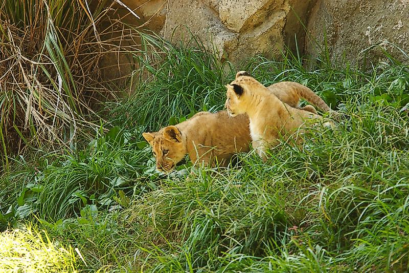 Lioness&Cubs-0011-after.jpg