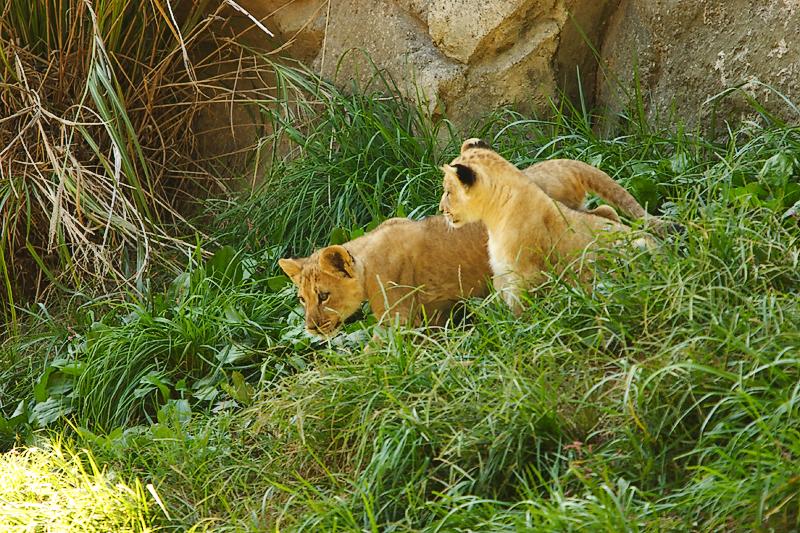 Lioness&Cubs-0011.jpg