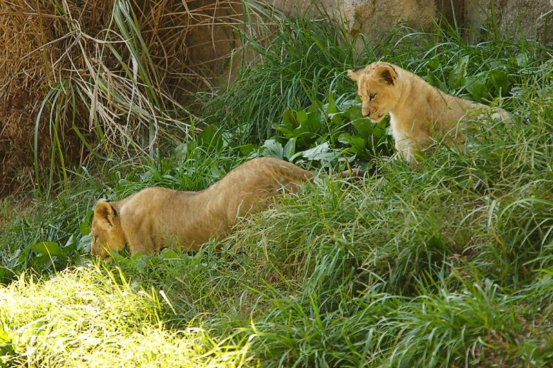 Lioness&Cubs-0012-after.jpg