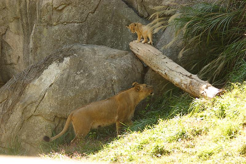 Lioness&Cubs-0013-after.jpg