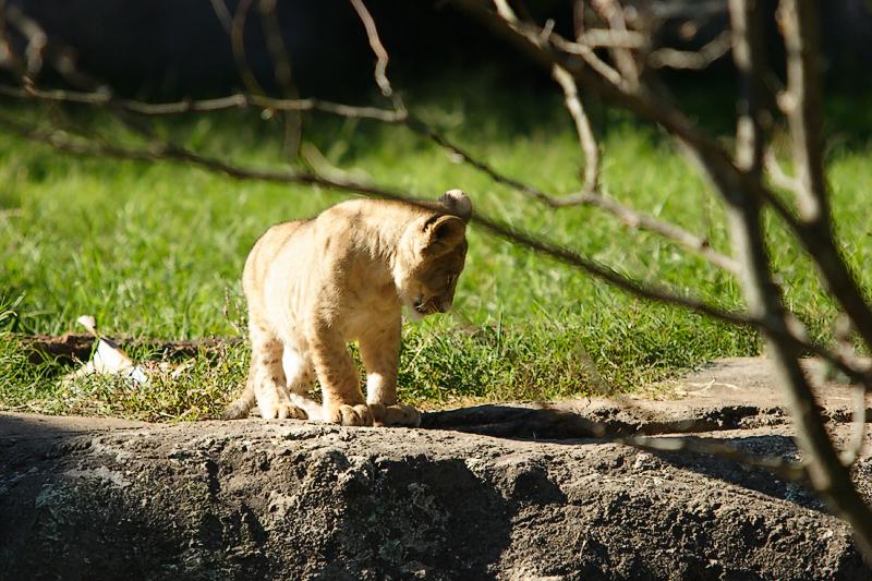 Lioness&Cubs-0015-after.jpg
