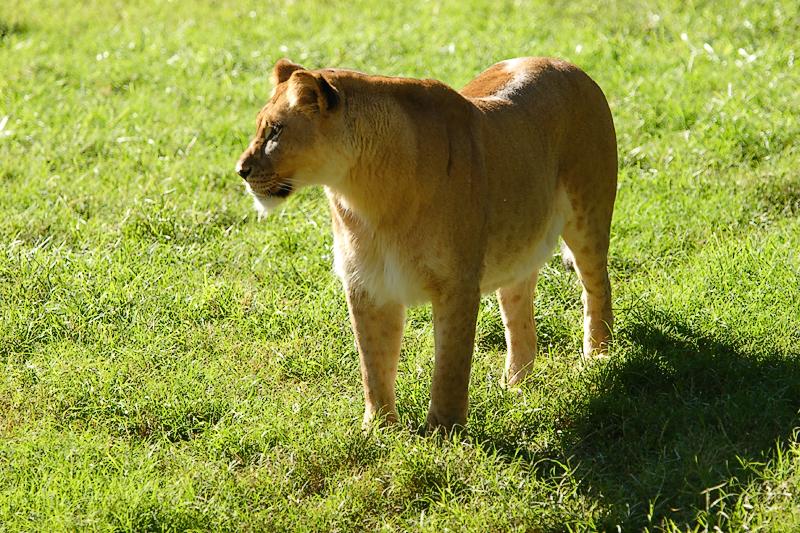 Lioness&Cubs-0016-after.jpg