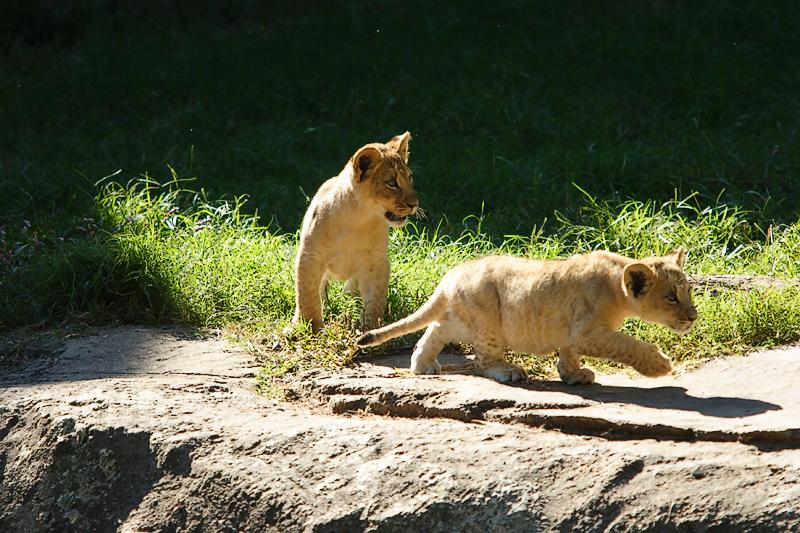 Lioness&Cubs-0018.jpg
