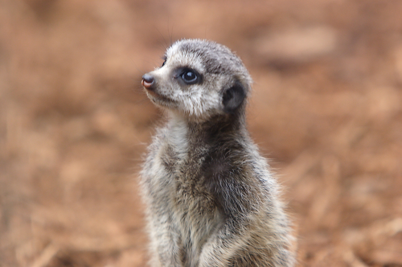 Meercats-0003-after.jpg