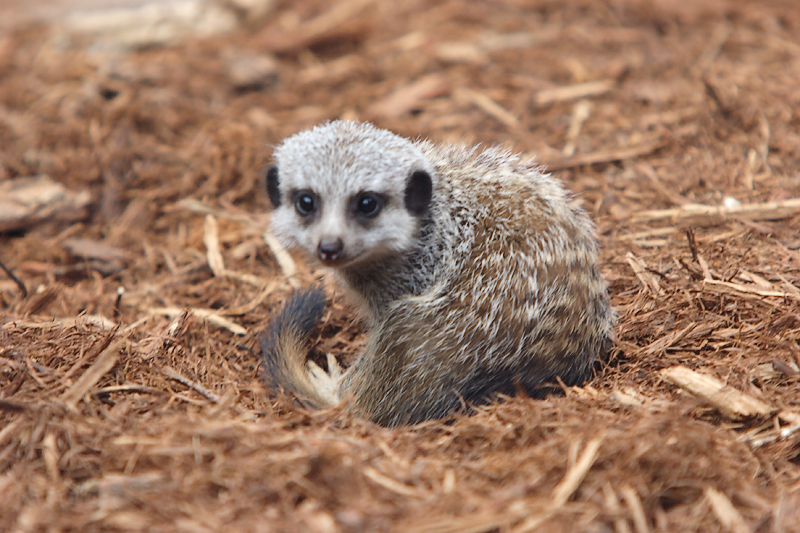 Meercats-0004-after.jpg