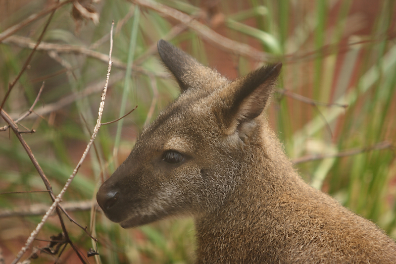 Wallaby-0001-after.jpg
